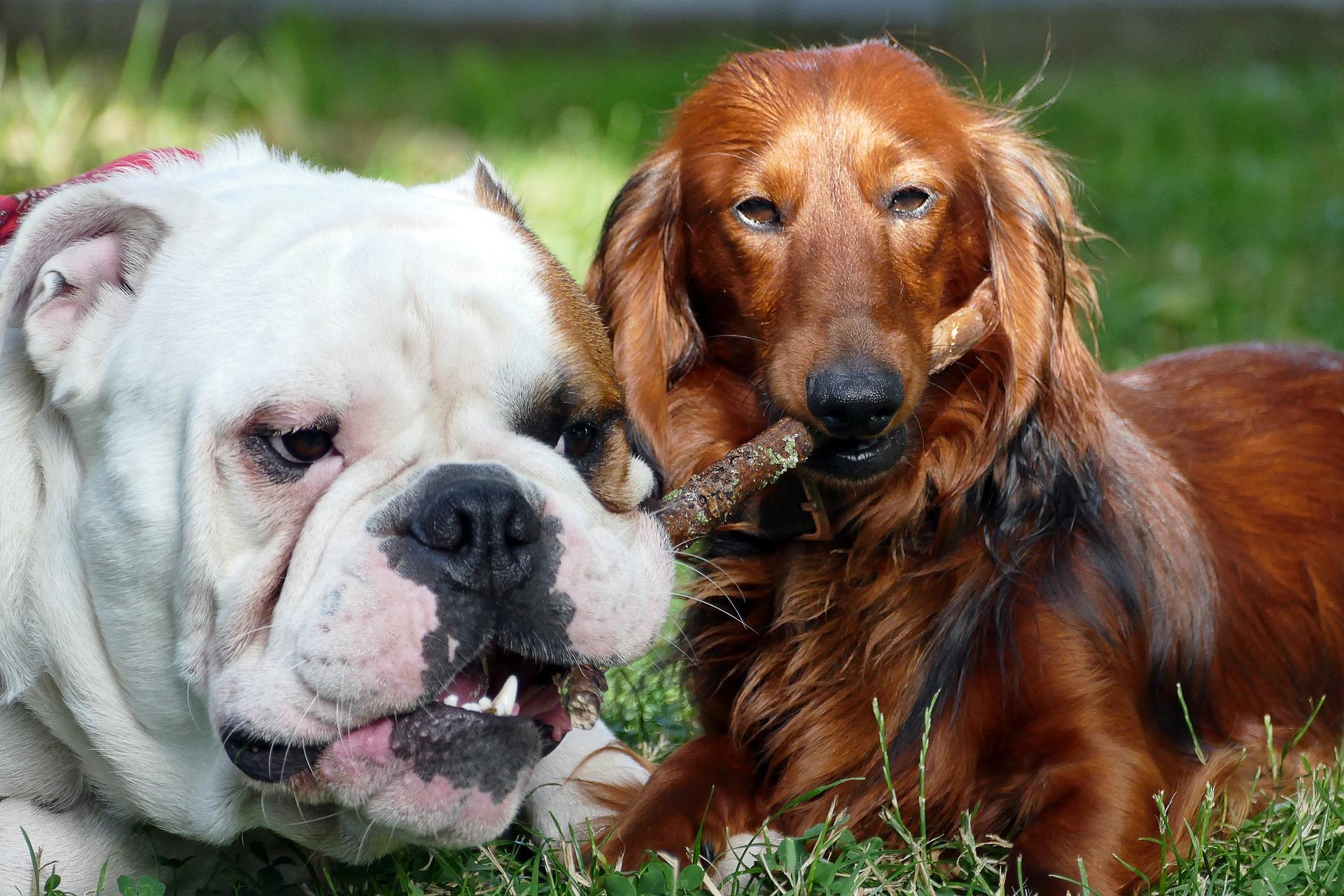 cuidados com cães